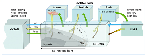 lateral bays, estuarine turbidity maxima, and plankton blooms.